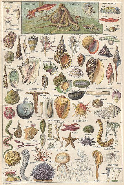 Mollusques 1 - Larousse universel - 1922
