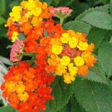 Tanaman Tembelekan Orange (Orange Lantana)