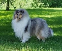 Linnda, chien Colley à poil long