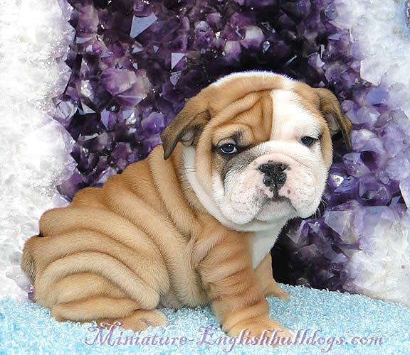 I want a miniature English bull dog!