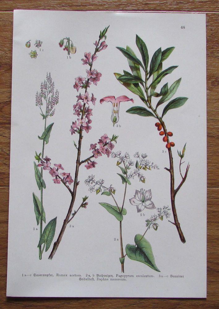 Botanischer Druck - Pflanzen Botanik Druck Atlas des Pflanzenreichs ca. 1920 48