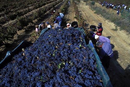 Vendimia #vino #wine    Síguenos en https://www.facebook.com/bodegavinasdelvero