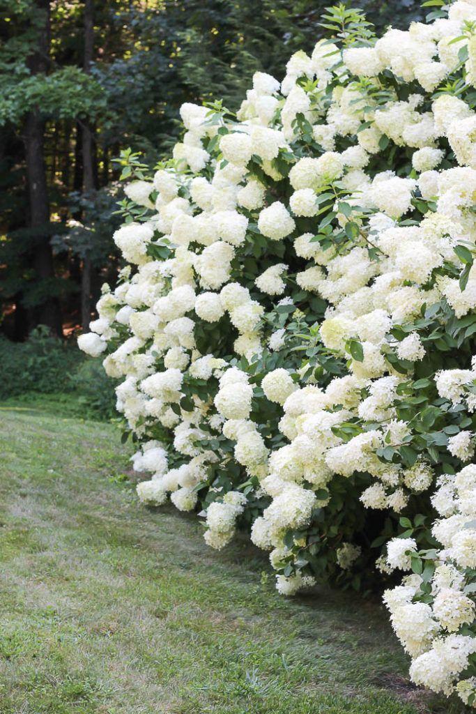 Limelight Hydrangeas Gardening 101 Gorgeous Hydrangeas Bush With White Hydrangeas In A Summer G Hydrangea Garden Limelight Hydrangea Hydrangea Landscaping