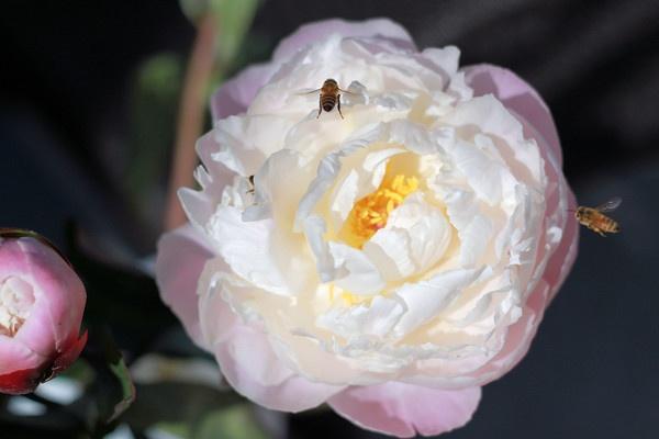 nature, bees, peonie