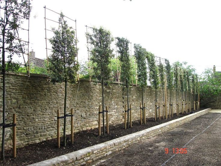 Pleaching begins on a Quercus ilex (evergreen Oak) | Instant Hedges - Suppliers and Growers of Semi-Mature and Mature Trees, Shrubs and Instant Hedge
