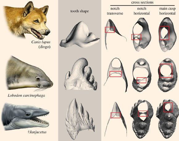 The teeth of archaic whales were as sharp as those of terrestrial predators, and thus were capable of capturing and processing prey, according to new research published in the journal Biology Letters. Comparison of the postcanine teeth of the dingo (Canis lupus), with that of the crabeater seal (Lobodon carcinophaga), an extant seal known to employ tooth-based suction filter feeding, and the extinct toothed mysticete Janjucetus. Note the sharp cutting edges in the dingo and Janjucetus.