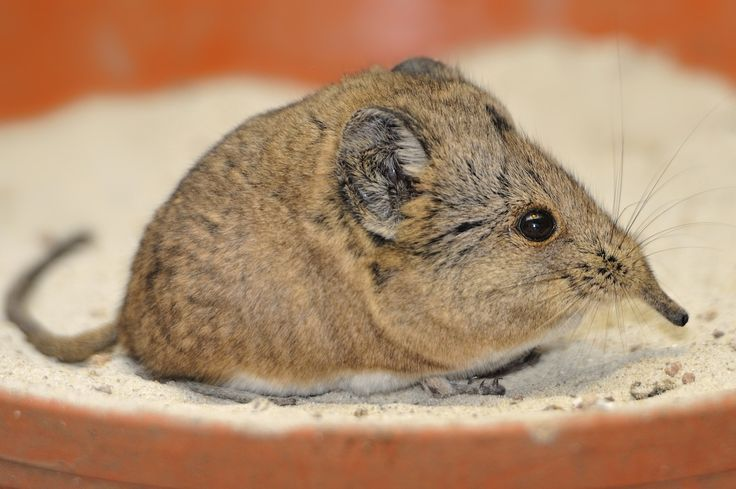 Zambales Shrew Rat 19 best images ...