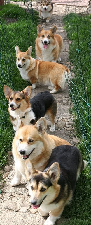 Corgis that we met on a vacation a few years ago. Copyright Charisa Martin Cairn