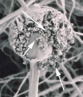 sporangiospore: non-motile, asexual spore that is borne in a sporangium (SEM of Rhizopus stolonifer)