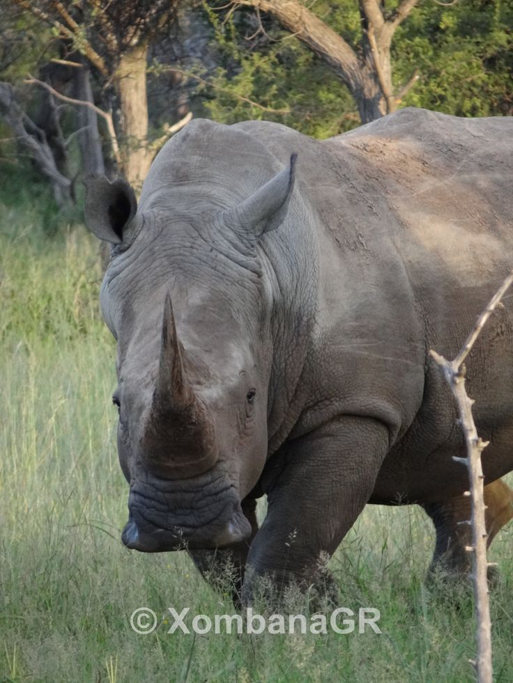 #RhinoFriday #Xombana #Dinokeng please help to create awareness of the slaughtering of our wildlife. In South Africa Rhino's are still the hardest hit with most killings in the Kruger National Park