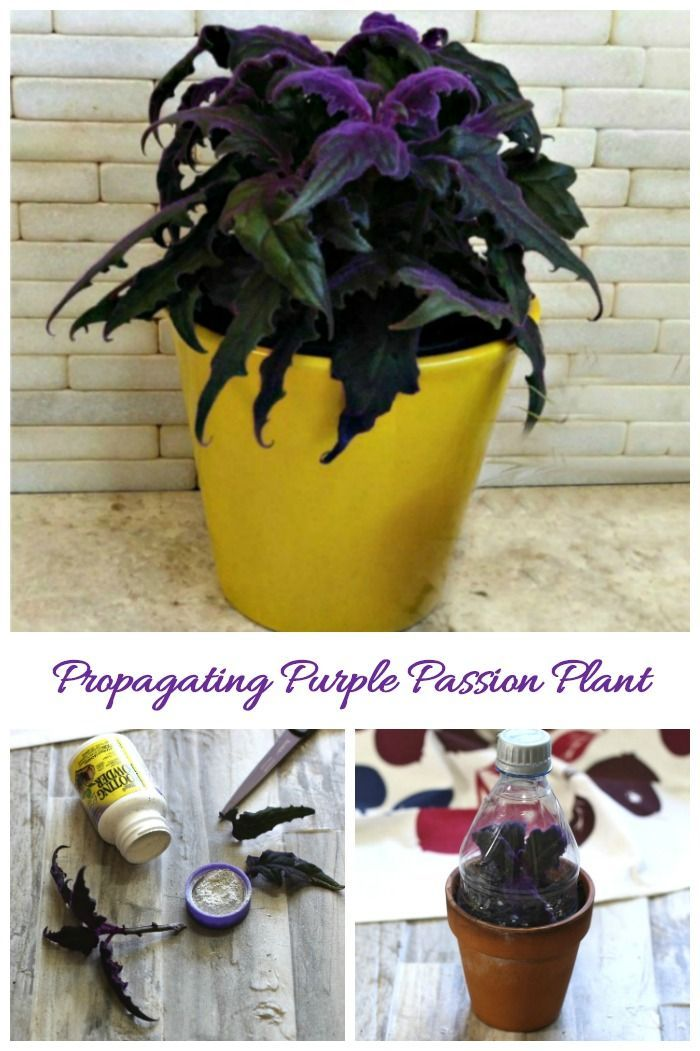 Purple Passion Plant Cuttings How To Propagate Gynura Aurantiaca Plant Cuttings Plants Purple Passion Plant