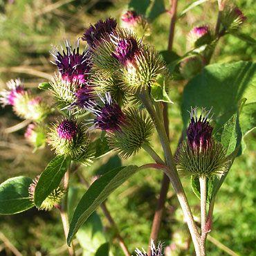 La grande bardane plantes et fleurs comestible pinterest for Plante comestible