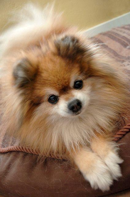 Sassy the Pomeranian