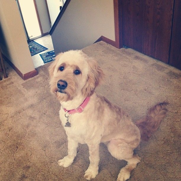 Short haircut goldendoodle | Hair styles | Pinterest