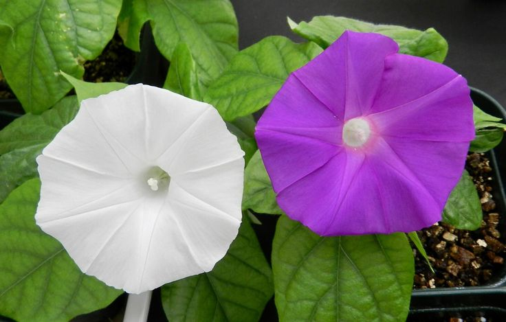 Flowers have the power to change their colour. Japanese scientists have managed to change the petals of a Japanese morning glory from violet to white by isolating a single gene.