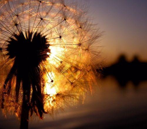 dandelion, inspiration, nature, photo, photography, silhouette, summer
