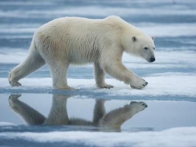 Polar Bear Walking across Melting Fjord Ice in Sabinebukta Bay, Nordaustlandet, Svalbard, Norway