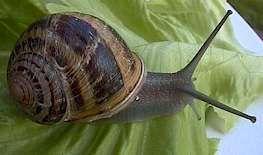 petit-gris ou H. aspersa aspersa