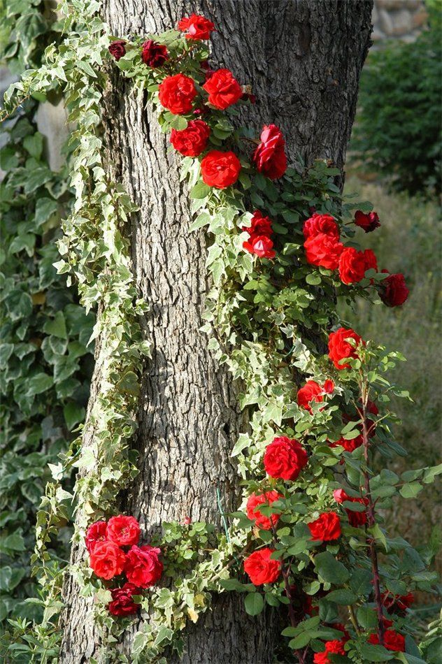 climbing roses and ivy beautiful combination
