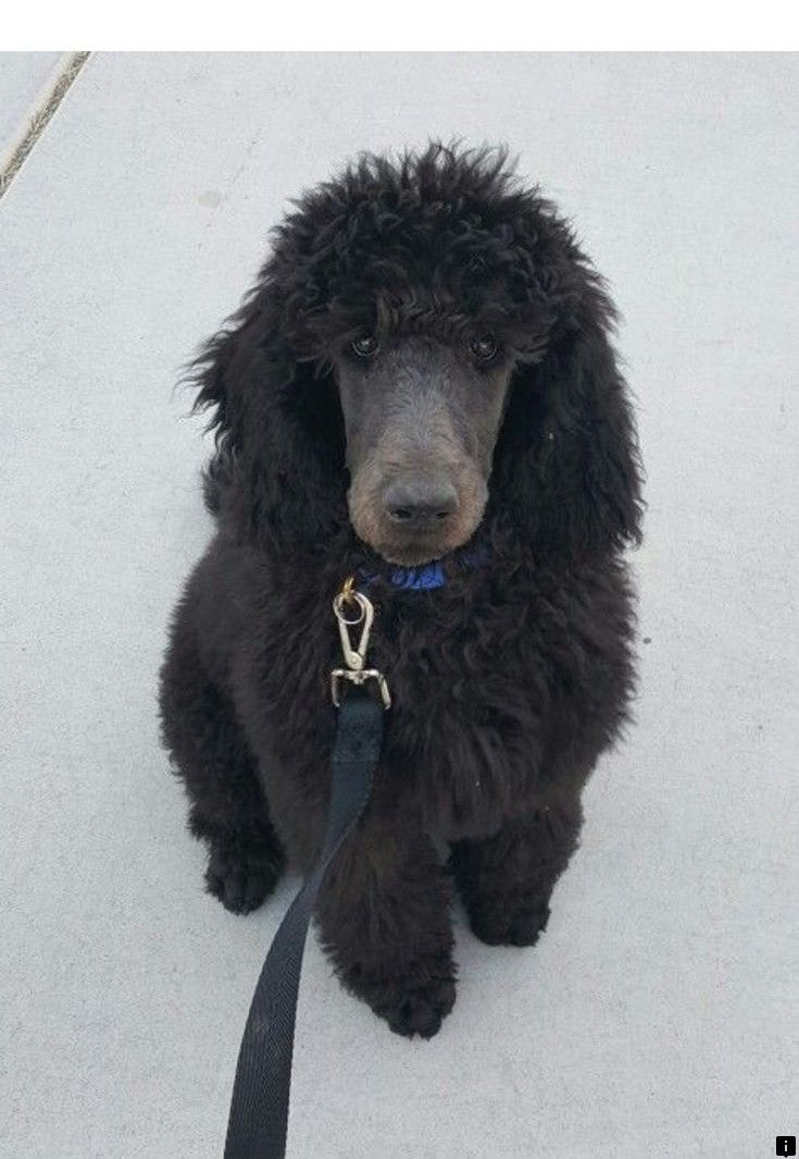 Follow The Link To Get More Information Poodle Puppies Click The