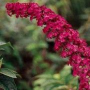 Buddleja davidii 'Royal Red'. Click image to add to your plants list in Shoot and to get care reminders.    Other names: Butterfly bush 'Royal Red', Buddlija 'Royal Red', Buddlea 'Royal Red'  Variety or cultivar: 'Royal Red' _ 'Royal Red' is a large deciduous shrub with arching branches, lance-shaped leaves and long panicles of scented purple-red flowers.    Buddleia are nectar rich plants, which encourage benefical wildlife, such as ladybirds, lacewings and hoverflies into the garden