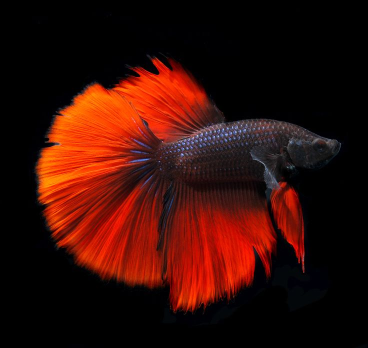 174 best breathtaking bettas images on pinterest for How often do i feed my betta fish
