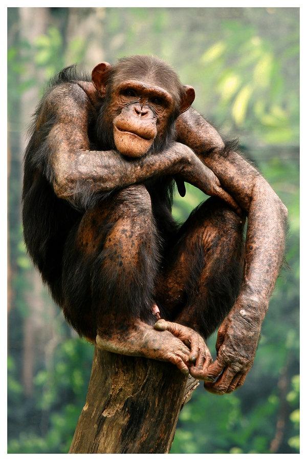 Bonobo partly hairless
