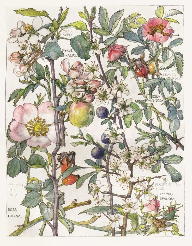 Wild Rose -Flower Botanical Print by Isabel Adams - Antique Print