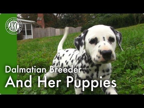 Dalmatian Breeder and Her Puppies - YouTube