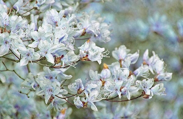 Dancing blue Azalea flowers. Photography art designs by Jennie Marie Schell.