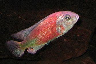 Ptyochromis Hippo Point Salmon Aquarium: Freshwater Pinterest