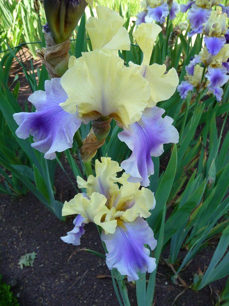 1000 id es sur le th me fleurs d 39 iris sur pinterest les for Aubade jardin d iris