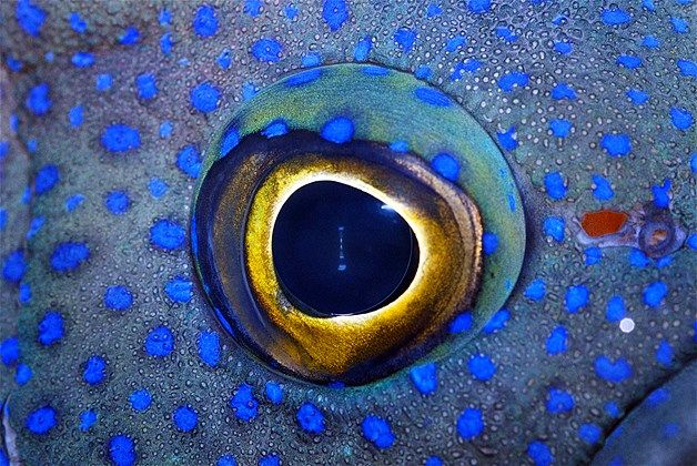 273 best images about animal eyes on pinterest for Fish eye skin