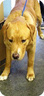 Van Wert, OH - Golden Retriever Mix. Meet Zues, a dog for adoption. http://www.adoptapet.com/pet/17911427-van-wert-ohio-golden-retriever-mix