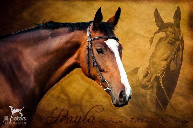 Die besten 25 Hannoveraner pferd Ideen auf Pinterest