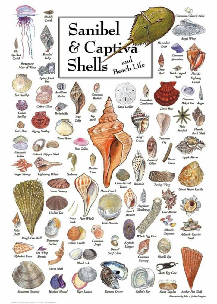 Sanibel Captiva Sea Shells Ocean Life Print Poster Florida