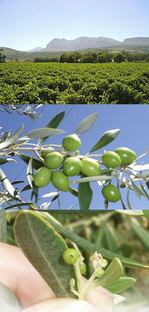 Growing Olive Trees, a more detailed article from a grower