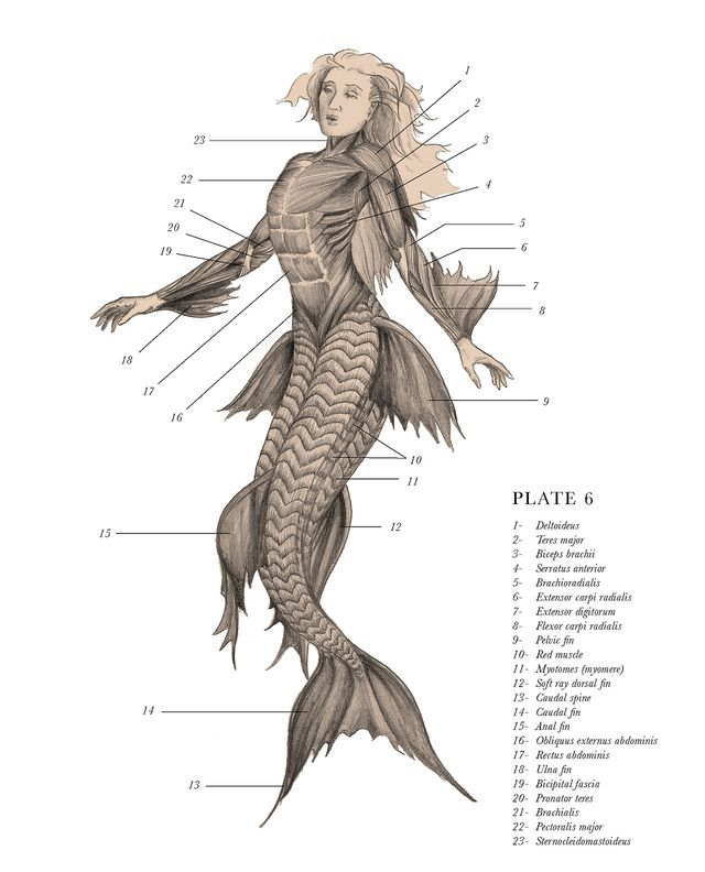 """Mermaid, from EB Hudspeth's The Resurrectionist, a two-part volume that includes The Codex Extinct Animalia, """"a Gray's Anatomy for mythological beasts"""""""