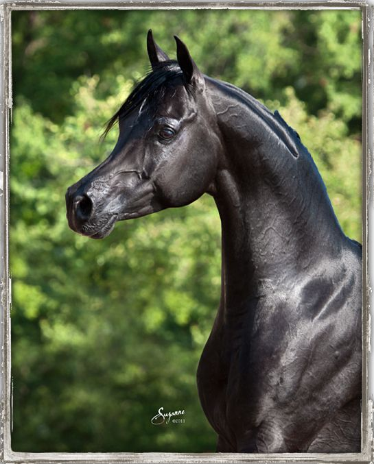 Black Arabian horse, champion stallion Bellagio RCA