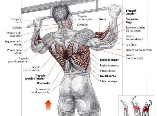 Mejores 7 imágenes de musculos en Pinterest | Anatomía, Espalda y ...