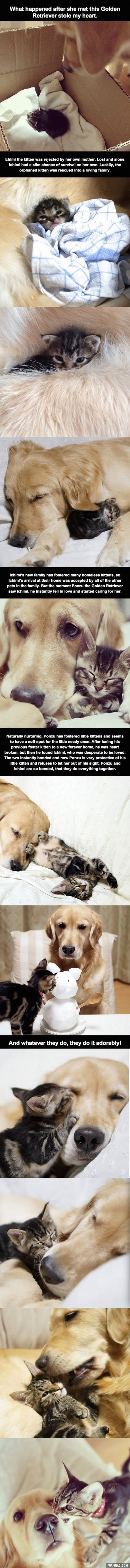 Golden retriever bonding to rejected kitten to keep it safe.. awwwww melted my heart
