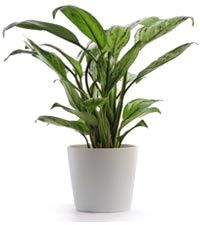 Houseplants and Indoor Air