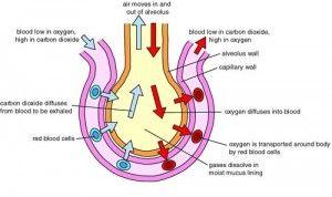 0013n046 300x178 Nutrients Origin in the Extracellular Fluid
