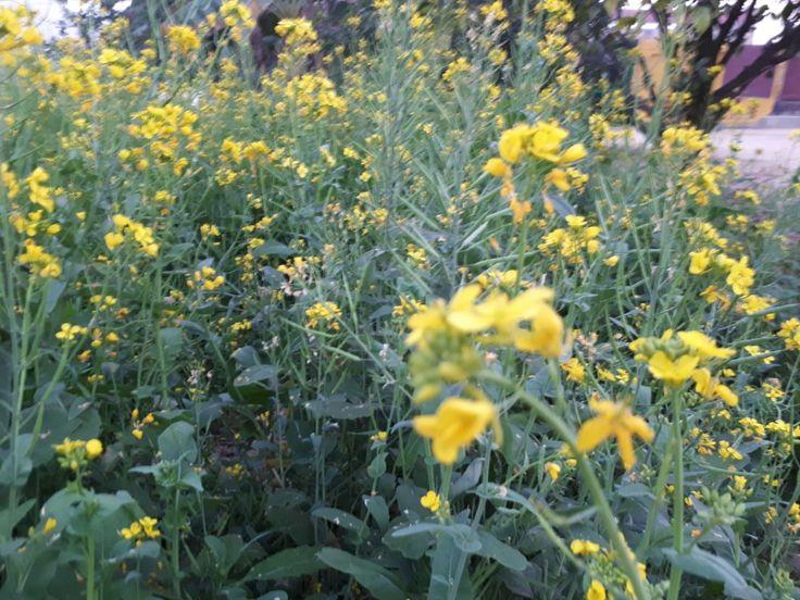 Mustard plant wallpaper