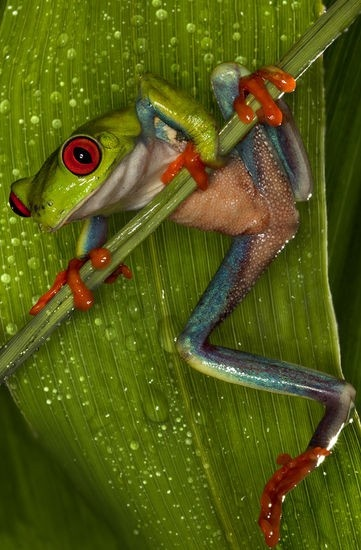 Red Eyed Tree Frog- this would make a great tattoo
