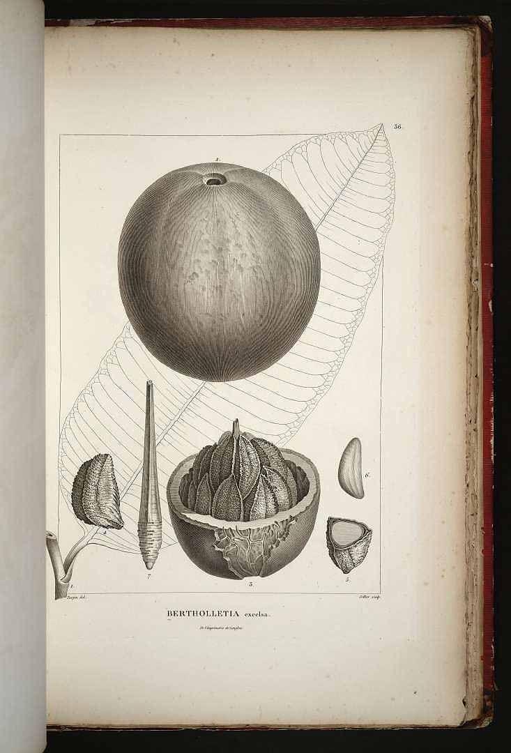 ブラジルナッツ サガリバナ科 Bertholletia excelsa Bonpl.   (Brazil nut)
