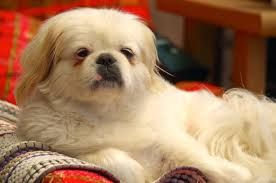 Image result for pekingese paintings