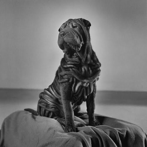 "Peter Hujar, Will (Char Pei) (1985)The Shar Pei, or Chinese Shar-Pei, is a breed of dog known for its distinctive features of deep wrinkles and a blue-black tongue. The breed comes from China. The name (沙皮, pinyin: shā pí; English name probably derived from British spelling of the Cantonese equivalent, sā pèih) translates to ""sand skin"" and refers to the texture of its short, rough coat. As puppies, Shar Pei have numerous wrinkles, but as they mature, these wrinkles loosen"