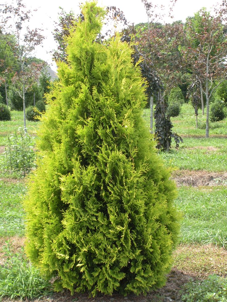 46 best plants evergreens shrubs and trees images on for Arborvitae garden designs