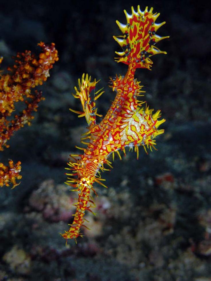 Ghost pipefish di Prince John House Reef, Tanjung Karang, Sulawesi Tengah.